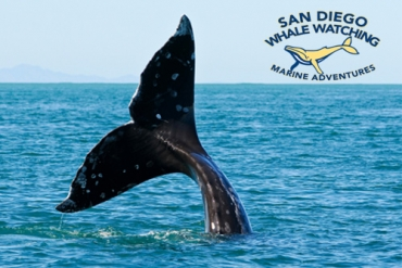 3 Hour Whale Watching Excursion in San Diego