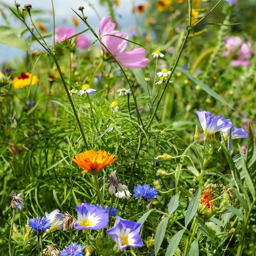 Cheerios : Free Wildflower Seeds