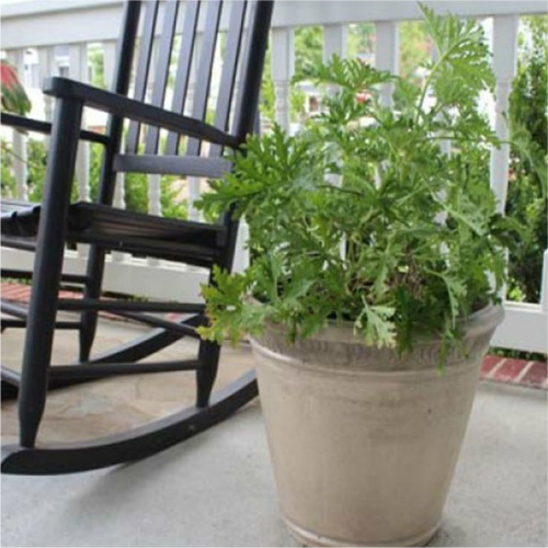61% off 2-PK of Citronella Plants : Only $13.49 + Free S/H